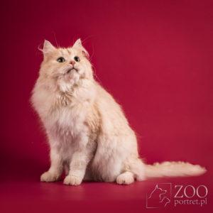 Sesja dla rasowego kota syberyjskiego