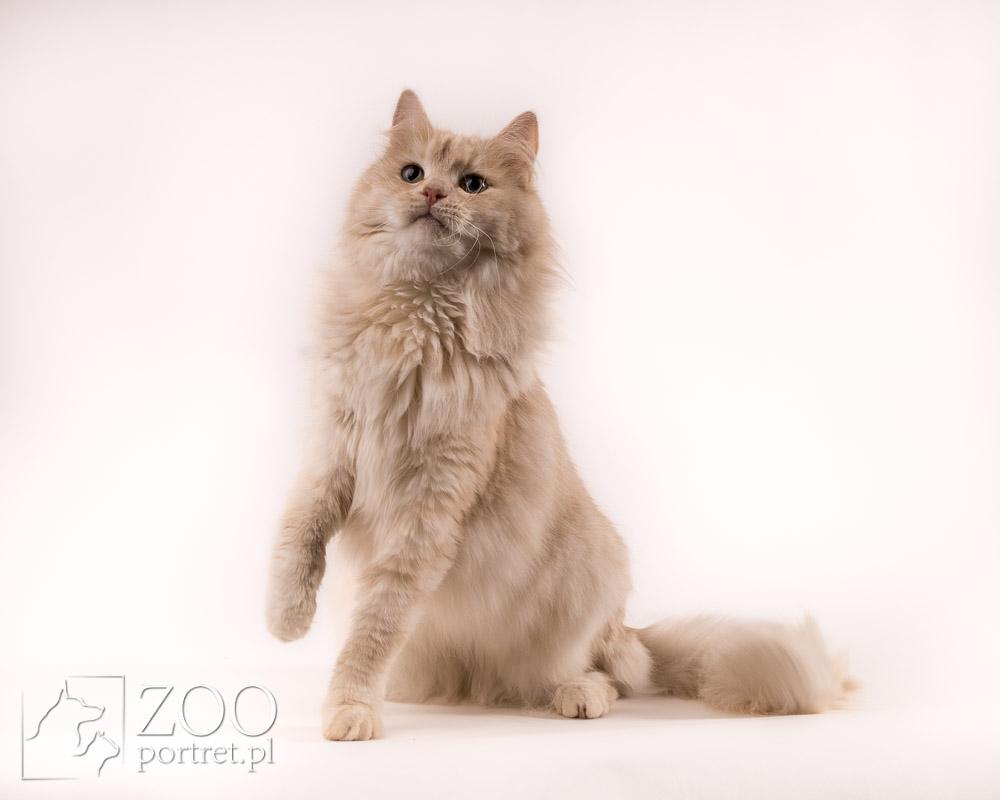 Fotograf kotów rasowych