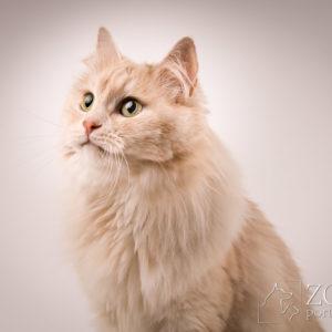 Sesje dla kotów hodowlanych