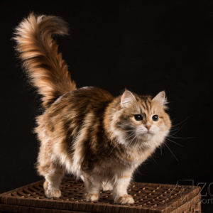Profesjonalna sesja dla hodowców kotów