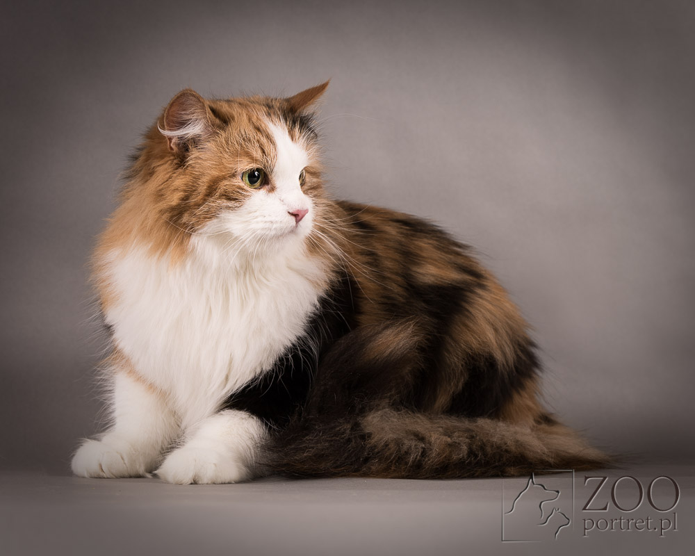 Profesjonalna sesja kota rasowego