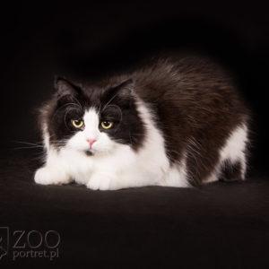 Profesjonalna fotografia kotów z hodowli