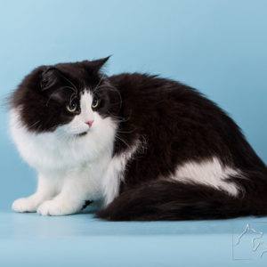 Rasowy kot u fotografa