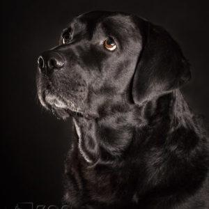 Sesja zdjęciowa labrador