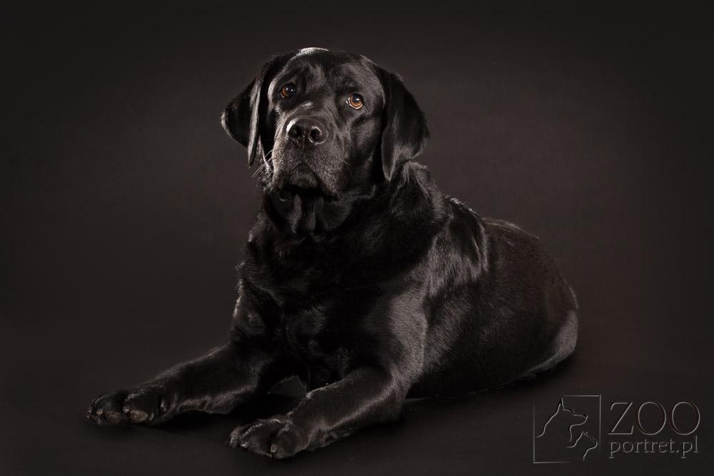 Labrador u fotografa