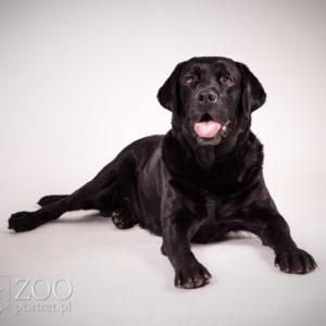 Psi fotograf dla labradora