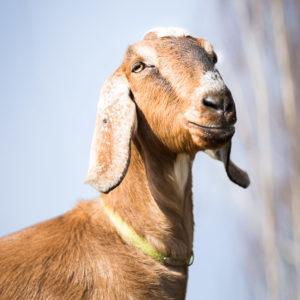 Sesja zdjeciowa zwierząt gospodarskich - kozy
