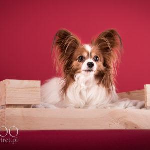 Sesja fotograficzna psa pappillon Warszawa